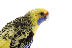 Yellow Rosella Stock Photography