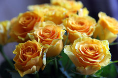 Yellow roses. On dark background and backlight Stock Photos