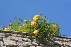 Yellow roses. On the wall Stock Images