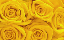 Yellow roses. Close-up of bright yellow roses Stock Images