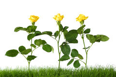 Free Yellow Roses Royalty Free Stock Images - 14846339