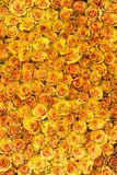 Yellow roses. A mass of yellow roses Stock Photography