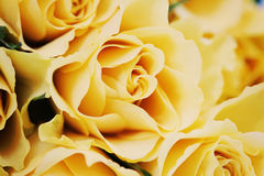 Yellow roses. Bunch of lovely yellow roses - flowers and plants Royalty Free Stock Images