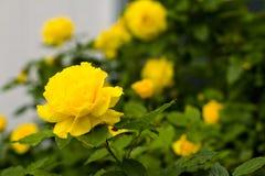 Yellow Roses. Closeup on bush Royalty Free Stock Photo