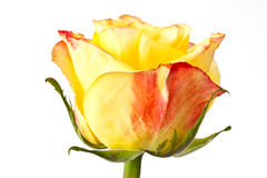 Yellow roses Royalty Free Stock Images
