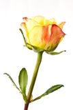 Yellow roses Stock Image