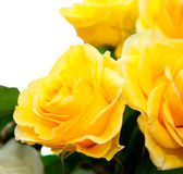 Yellow roses. On a white background Royalty Free Stock Image