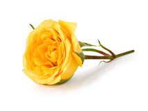 Yellow roses Stock Photos