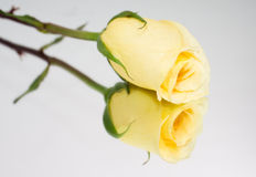 Yellow Roses. Boquet of yellow roses on white backgorund Royalty Free Stock Photography