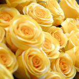 Yellow roses. A lot of yellow roses Stock Photo
