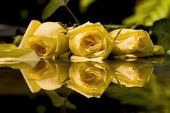 Yellow Roses. Close up of three yellow roses Royalty Free Stock Images