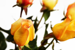 Yellow roses. Bouquet of yellow golden roses Stock Photography