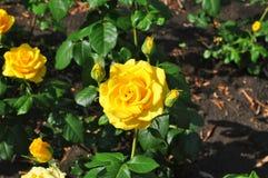 Free Yellow Roses Stock Photo - 56208350