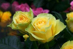 Yellow roses. Two yellow roses stock photos