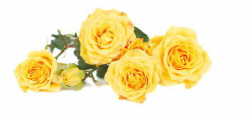 Yellow roses. Bunch of yellow roses  isolated on the white bachground Royalty Free Stock Photos