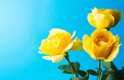 Yellow roses against blue background Stock Photo