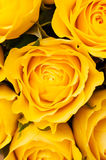 Yellow roses background Royalty Free Stock Images