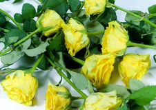 Yellow roses background. Close up Royalty Free Stock Images