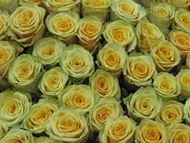 Yellow roses background Royalty Free Stock Image