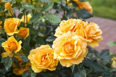 Yellow Roses. Beautiful yellow Roses prominently displayed stock image