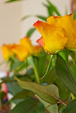 Yellow roses. Beautiful yellow roses in the room Royalty Free Stock Photos