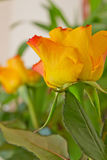 Yellow roses. Beautiful yellow roses in the room Stock Images