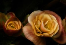 Yellow roses on black Stock Images