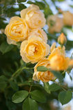 Yellow roses bloom Stock Photos