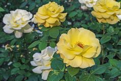 Yellow Roses. Blooming yellow roses in the city garden. Yellow roses on a background of green leaves royalty free stock photo