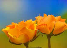 Yellow roses on blue and green Royalty Free Stock Images
