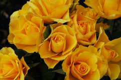 Yellow roses. Bouquet of beautiful yellow roses Royalty Free Stock Image
