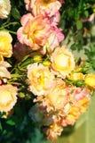 Yellow roses. Royalty Free Stock Photo