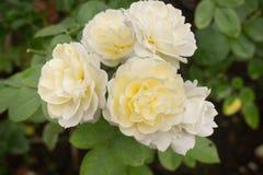 Yellow roses bush in the garden Royalty Free Stock Photos