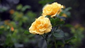 Yellow roses on bush stock video footage