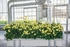 Greenhouse with rose flowers. Yellow roses on a cart in a greenhouse, close-up royalty free stock photos
