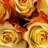 Yellow roses close-up stock images