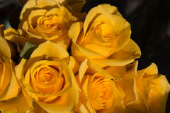 Yellow roses. Closeup of yellow roses in bloom Stock Image