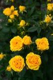 Yellow roses. Closeup of yellow roses bush Royalty Free Stock Photos