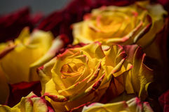 Yellow roses. Congratulations red and yellow roses Royalty Free Stock Photo