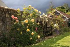 Yellow Roses in a Country garden. A flowering Pink and Yellow bushes blooming in an English Country garden with an approaching rain storm Royalty Free Stock Photos