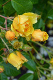 Yellow roses covered with raindrops Royalty Free Stock Photography