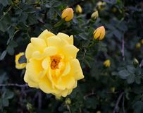 Yellow Floribunda Roses and RoseBuds. Yellow roses, Floribunda, Latin for `many-flowering,` a modern group of garden roses developed by crossing hybrid teas with royalty free stock images