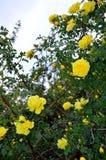 Tall Yellow Floribunda Rose Bush and Sky. Yellow roses, Floribunda, Latin for `many-flowering,` a modern group of garden roses developed by crossing hybrid teas royalty free stock photos