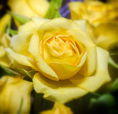 Yellow roses flowers close up, texture, floral arrangement Royalty Free Stock Image