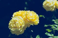 Yellow roses flowers and green leaves background, dark blue toning. Copy space.  stock photo