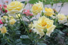 Yellow roses. In the garden Stock Images