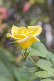 Yellow roses in the garden. Royalty Free Stock Images