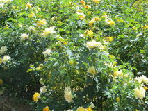 Yellow roses. In the garden Stock Photos