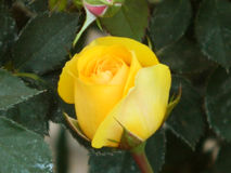 Yellow roses. Garden yellow roses Stock Images