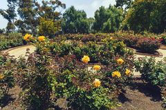 Yellow roses in the garden. A bunch of yellow roses in the garden Royalty Free Stock Photography